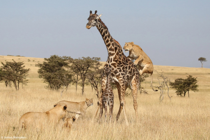 Photo 'Attack' by photographer James Nampaso taken in Kenya, captures a herd of lions trying to attack a giraffe.  The author shared: 'I saw a herd of lions stalking two giraffes.  In the fighting that lasted about half an hour, the baby giraffe was killed.  The mother was lucky to escape.