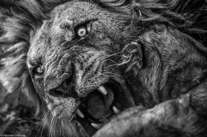 The scene where a fly landed on a lion's eye helped Hans Lochner win the competition.  The photo was chosen by the photographer to show in black and white tones.  If you look closely, you can see a small fly perched on it.  The photo was taken by Lochner in 2020 in Chobe National Park, Botswana.  The work impresses with this photographer's technique, precision in timing and perfect camera settings.